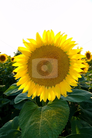 Sunflower stock photo, Gorgeous sunflower with pollen on green leaves by Milsi Art