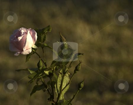 Bronze rose stock photo, Rose with great bronze background by Midas Mould