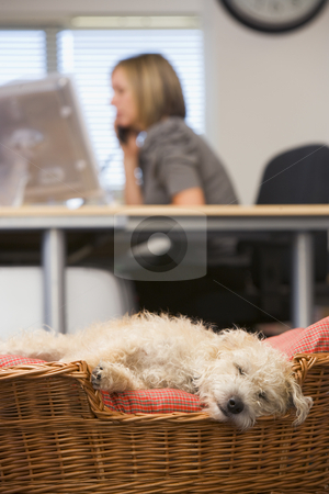 Dog sleeping in home office with woman in background stock photo,  by Monkey Business Images
