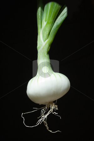 Onion on black background stock photo, Oignon blanc nouveau by Sinephot