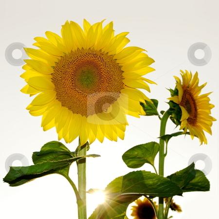 Sunflowers stock photo, Beautiful sunflowers with sunburst by Milsi Art