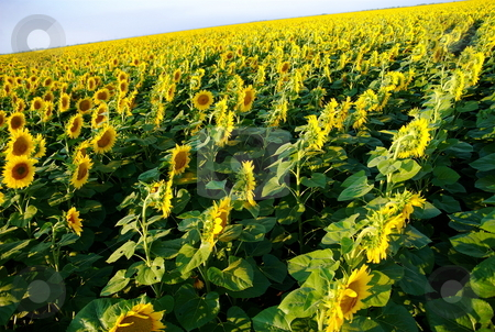 Sunflower field stock photo, Sunflower field with tilted angle by Milsi Art