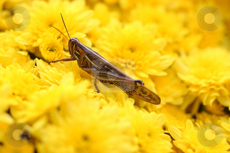 Cricket in Yellow Flowers stock photo, Cricket close-up on bed of yellow Mums by Brian Harding
