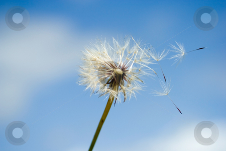 Dandelion stock photo, Dandelion in the wind by Sinephot
