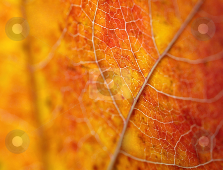 Beautiful autumn  leaf macro stock photo, Autumn leaf macro backlit shallow depth of field by Laurent Dambies