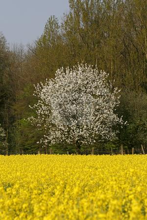 Cherry tree in Hagen, Osnabr??cker Land, Lower Saxony, Germany stock photo, Cherry tree in Hagen, Osnabr??cker Land, Lower Saxony, Germany by Lothar Hinz