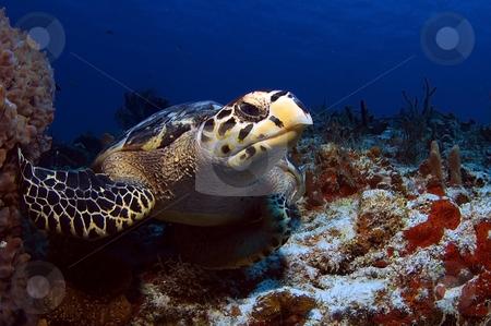 Hawks Bill Sea Turtle stock photo,  by Greg Amptman