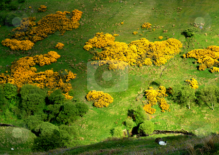 Whin landscape stock photo, Golden whins in ireland by Midas Mould
