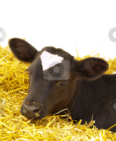 Calv on straw stock photo, Portrait of calv on straw, isolated on white by Torsten Lorenz