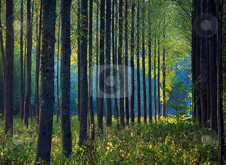 Forest morning stock photo, Ranks of trees in a normandy forest in the autumn morning light by Midas Mould