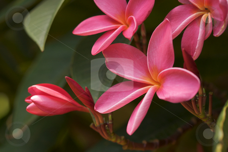 Pink Plumeria Flowers stock photo, Pink Plumeria Flowers on the tree in Kauai, Hawaii by Andy Dean