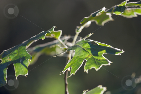 Backlit Oak Leaves stock photo, Backlit Oak Leaves with narrow depth of field. by Andy Dean
