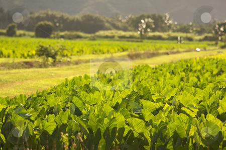 Hanalei Valley and Taro Fields stock photo, Hanalei Valley and Taro Fields on Kauai, Hawaii by Andy Dean