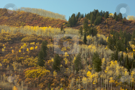 Colorful Aspen Pines stock photo, Colorful Aspen Pines Against Deep Blue Sky by Andy Dean