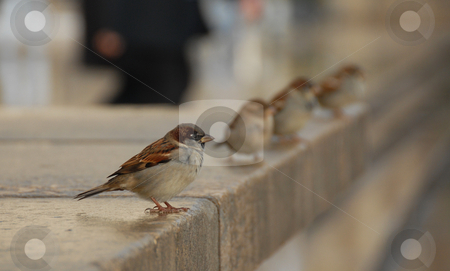 Sparrow stock photo, A  male sparrow (passer domesticus domesticu) in Paris. Behind him, three females sparrow, and a man who walking by Bonzami Emmanuelle