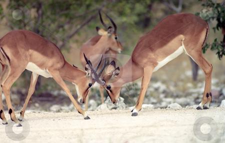 Impalas  stock photo, Two impala in war in Etosha national park by Seregey Korotkov