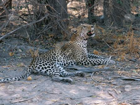 Leopard stock photo, Leopard  in Botswana Okavango delta by Seregey Korotkov