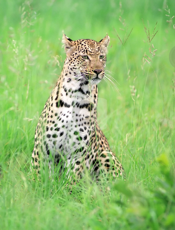 Leopard stock photo, Young leopard in grass in Kruger park by Seregey Korotkov