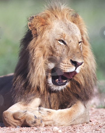 Lion stock photo, Portrait of smiling lion in Kruger park South Africa by Seregey Korotkov