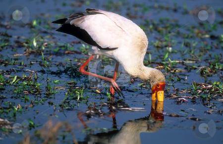 Yellow-billed stork stock photo, Hunting yellow-billed stork in water in Okavango delta Botswana by Seregey Korotkov