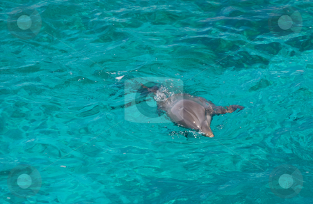 Dolphin swimming in the sea  stock photo, Grey dolphin swimming in clear turquoise sea water by Karin Claus