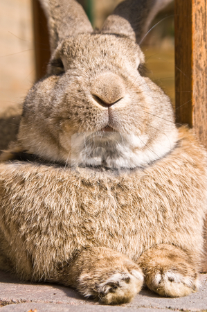 Bossy rabbit stock photo, Rabbit looking like I 'm the boss by Karin Claus
