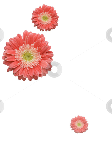 Falling Daisies stock photo, Falling Gerber Daisies with variable depth of field. by Andy Dean
