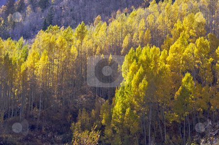 Aspen Pines Changing Color stock photo, Aspen Pines Changing Color Against the Mountain Side by Andy Dean
