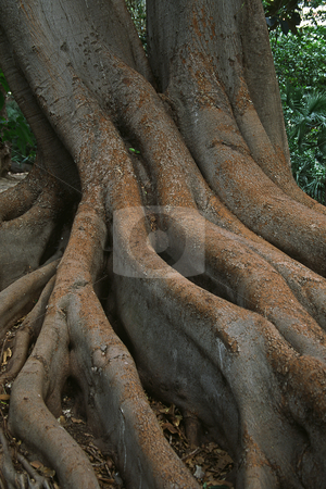 Tree roots in Sanremo, Italy stock photo, Tree roots in Sanremo, Italy by Lothar Hinz