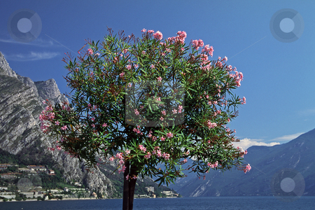 Oleander tree (Nerium oleander) at the Lake of Garda, Limone, Italy stock photo, Oleander tree (Nerium oleander) at the Lake of Garda, Limone, Italy by Lothar Hinz