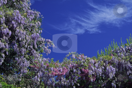 Wisteria, bush in spring, Cote d'Azur, Southern France stock photo, Wisteria, bush in spring, Cote d'Azur, Southern France by Lothar Hinz