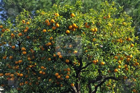 Orange tree in Diano Castello, Liguria, Italy stock photo, Orange tree in Diano Castello, Liguria, Italy by Lothar Hinz