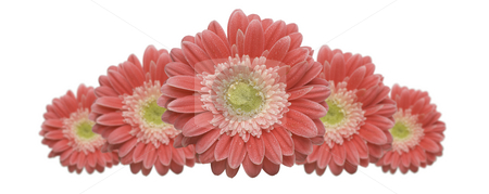 Gerber Daisy Row stock photo, Gerber Daisy Row with variable depth of field isolated on a white background. by Andy Dean