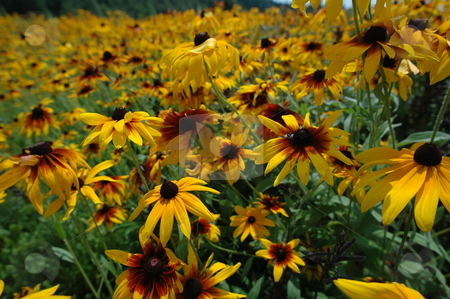 Flowers that are yellow stock photo,  by Richard Sheehan