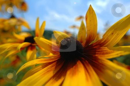 Yellow Flowers stock photo,  by Richard Sheehan
