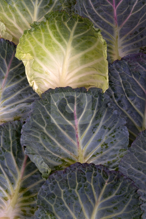 All in a row stock photo, Background of Savoy cabbage leaves by Paul Phillips