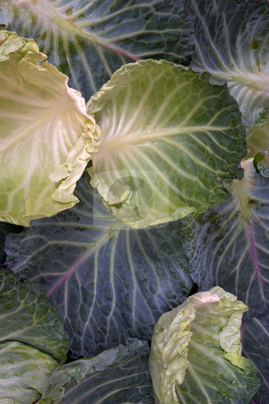 Savoy stock photo, Savoy cabbage leaves arranged in a pattern by Paul Phillips