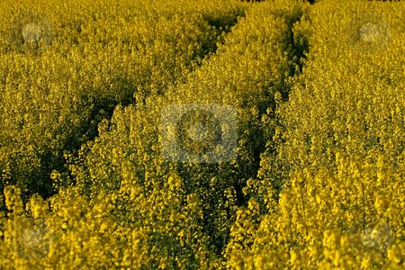 Rape field in Germany stock photo, Rape field in Hagen, Germany by Lothar Hinz