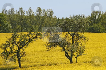 Rapeseed field with apple trees, Lower Saxony, Germany stock photo, Rapeseed field with apple trees, Lower Saxony, Germany by Lothar Hinz
