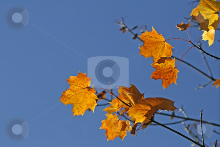 Maple leaf in autumn stock photo, Maple leaf in autumn by Lothar Hinz