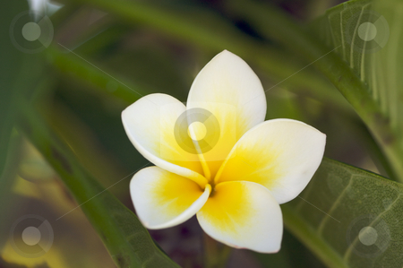 Yellow Plumeria Flowers stock photo, Yellow Plumeria Flowers on the tree in Kauai, Hawaii by Andy Dean