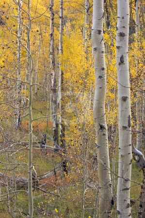 Aspen Pines Changing Color stock photo, Aspen Pines Changing Color Before Winter by Andy Dean