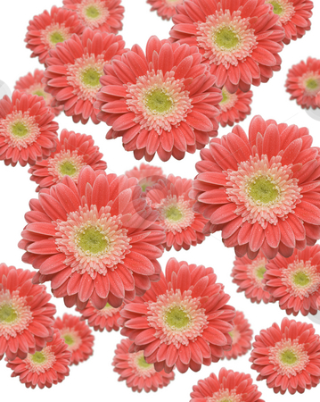 Floating Pink Gerber Daisies stock photo, Floating Pink Gerber Daisies Background by Andy Dean