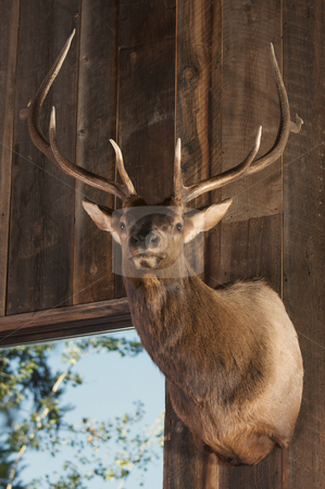 Mounted Stag Head stock photo, Mounted Stag Head on Cabin Wall by Andy Dean