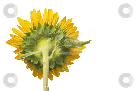 Back Side View of Large Sunflower stock photo, Back Side View of Large Sunflower Isolated on White Background by Andy Dean