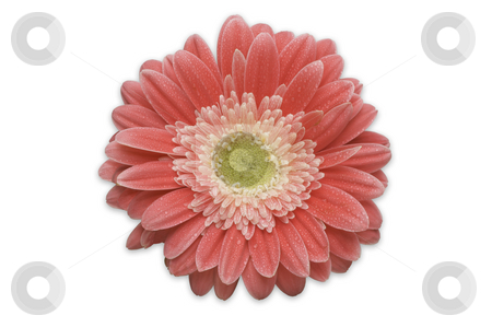 Pink Gerber Daisy Isolated stock photo, Pink Gerber Daisy Isolated on a White Background. by Andy Dean