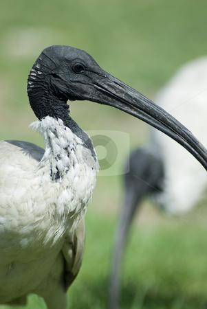 Australian white ibis stock photo, An australian white ibis, (Threskiornis molucca) wading bird from the family Threskiornithidae by Stephen Gibson