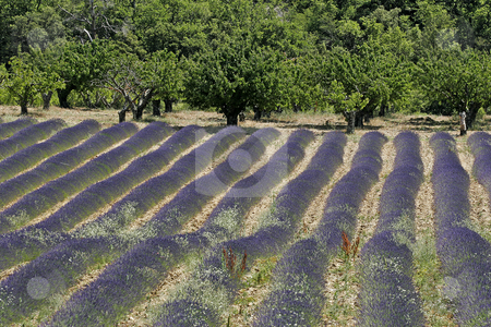 Lavender field near Croagnes, Luberon, Provence stock photo, Lavender field near Croagnes, Luberon, Provence, Southern France by Lothar Hinz