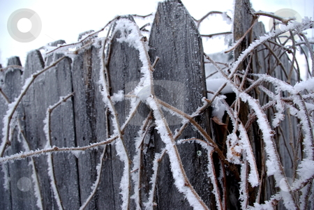 Frosty winter morning stock photo, Frost covered vines decorate and old fence on a cold Iowa winter morning. by Dennis Thomsen