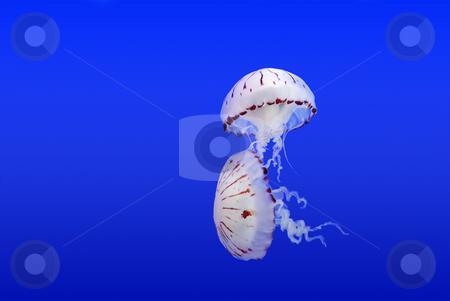 Jellyfish stock photo, Couple of jellyfish on a blue submarine background by Ivan Paunovic
